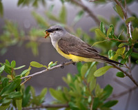 Western Kingbird - Fort Worth Nature Center