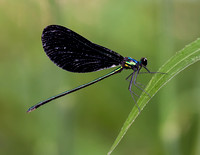 Damselfly (Ebony Jewelwing) - Azle, Tx.