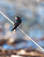 Cliff Swallow - Village Creek Drying Beds