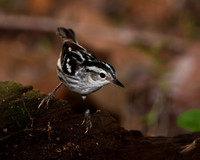 Black- and- White Warbler