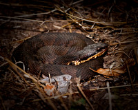 Cottonmouth Water Moccasin - Ft. Worth Nature Center