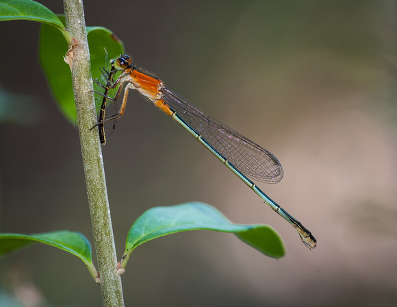 Damselfly (Having a fellow Damselfly over for lunch) - Fort Worth Nature Center
