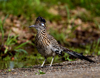 Roadrunner - Fort Worth Nature Center