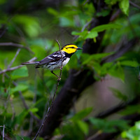 Golden-cheeked Warbler - Palo Pinto Co. Tx.