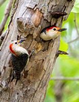 Red-bellied Woodpeckers (Mom. with spider and Dad) - Fort Worth Nature Center