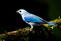 Blue Grey Tanager - Costa Rica