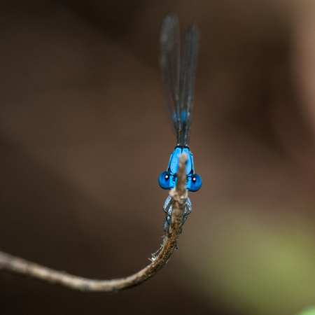 Damselfly - Fort Worth Nature Center